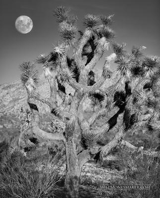 Joshua Tree, Palmdale California
